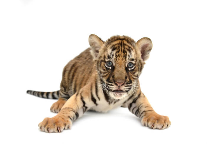Image of playful tiger cub